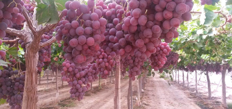 Descubriendo la uva de mesa del vinalop en marcha n rdica costa blanca nordic walking - Variedades de uva de mesa ...