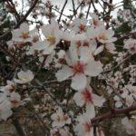 Floración-del-Almendro